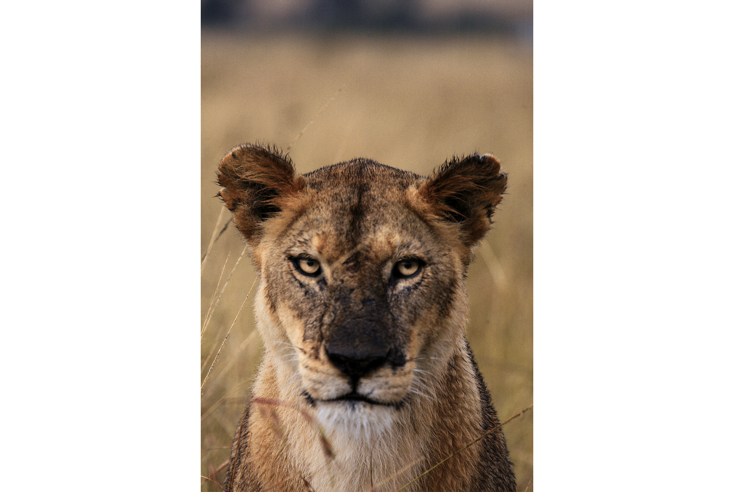 roaring_rain_Jenia_lions_masai_mara_photo_by_flavio_oliva_04