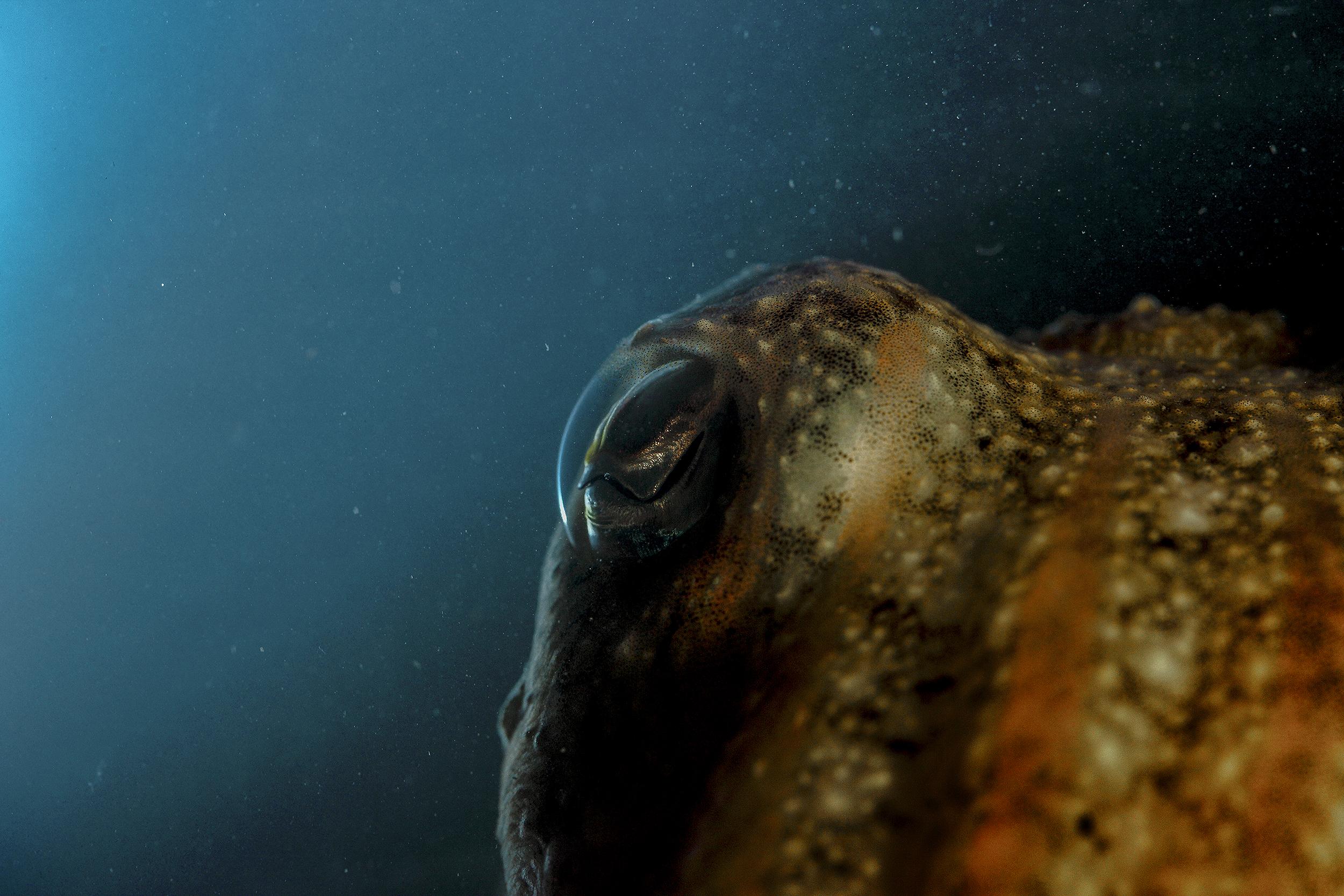 mediterranean_cuttlefish_eye_national_geographic_photo_by_flavio_oliva