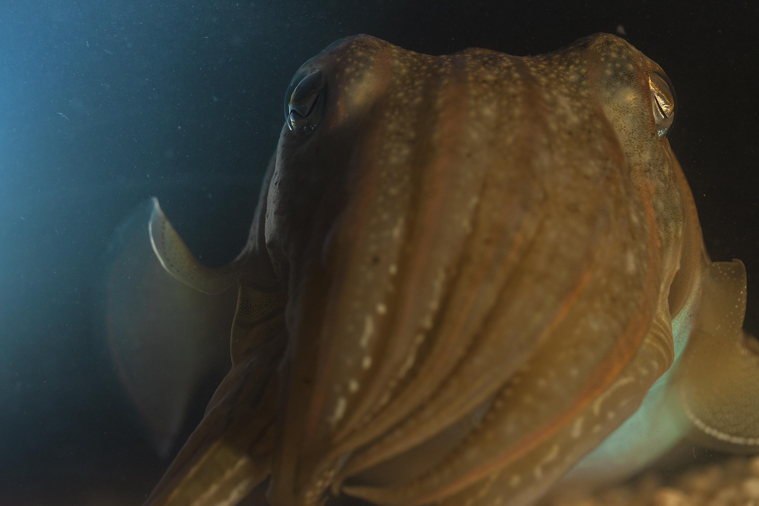 mediterranean_cuttlefish_portrait_national_geographic_photo_by_flavio_oliva
