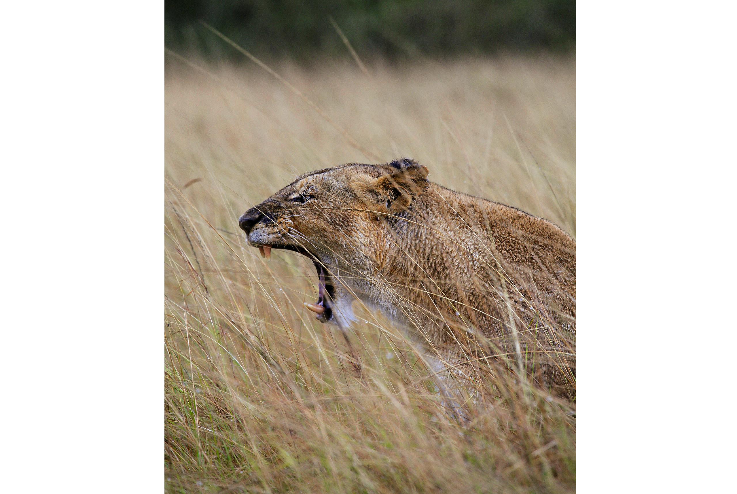 roaring_rain_lions_masai_mara_photo_by_flavio_oliva_16