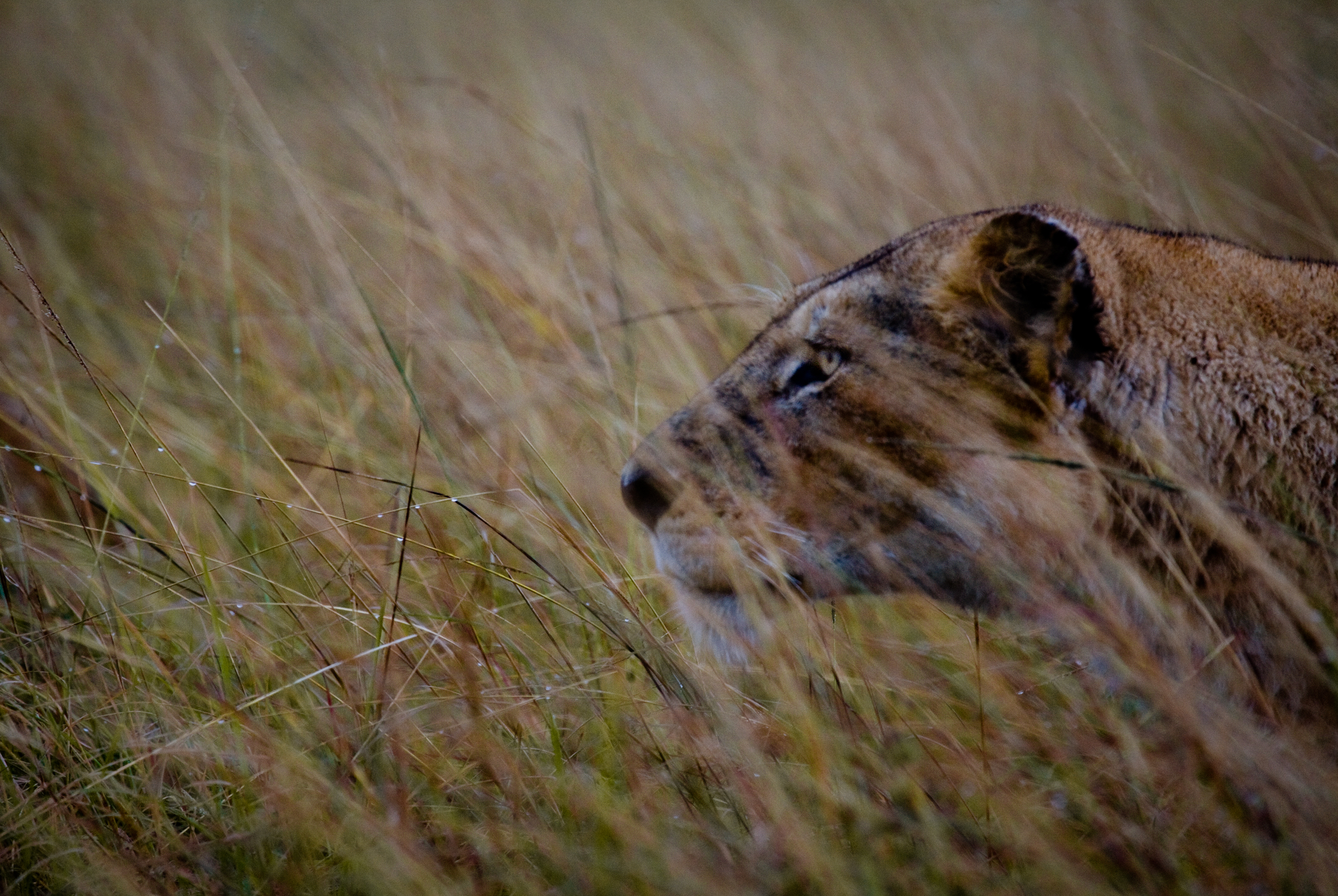 roaring_rain_lions_masai_mara_photo_by_flavio_oliva_20