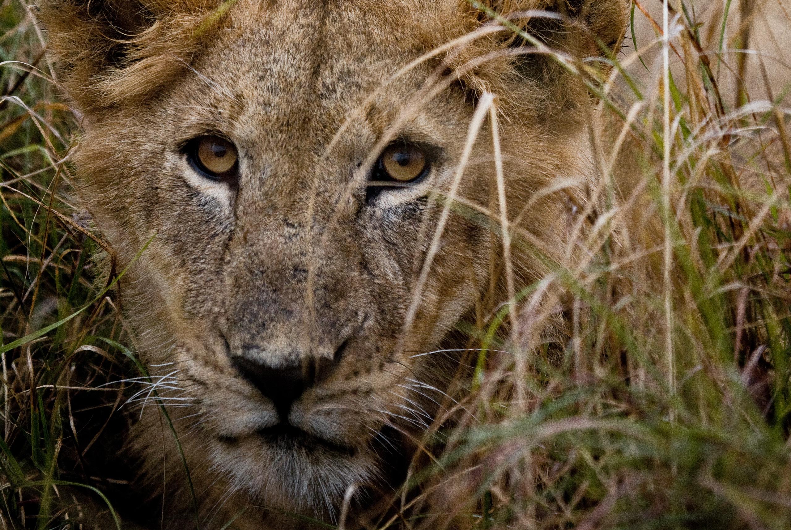 roaring_rain_lions_masai_mara_photo_by_flavio_oliva_24