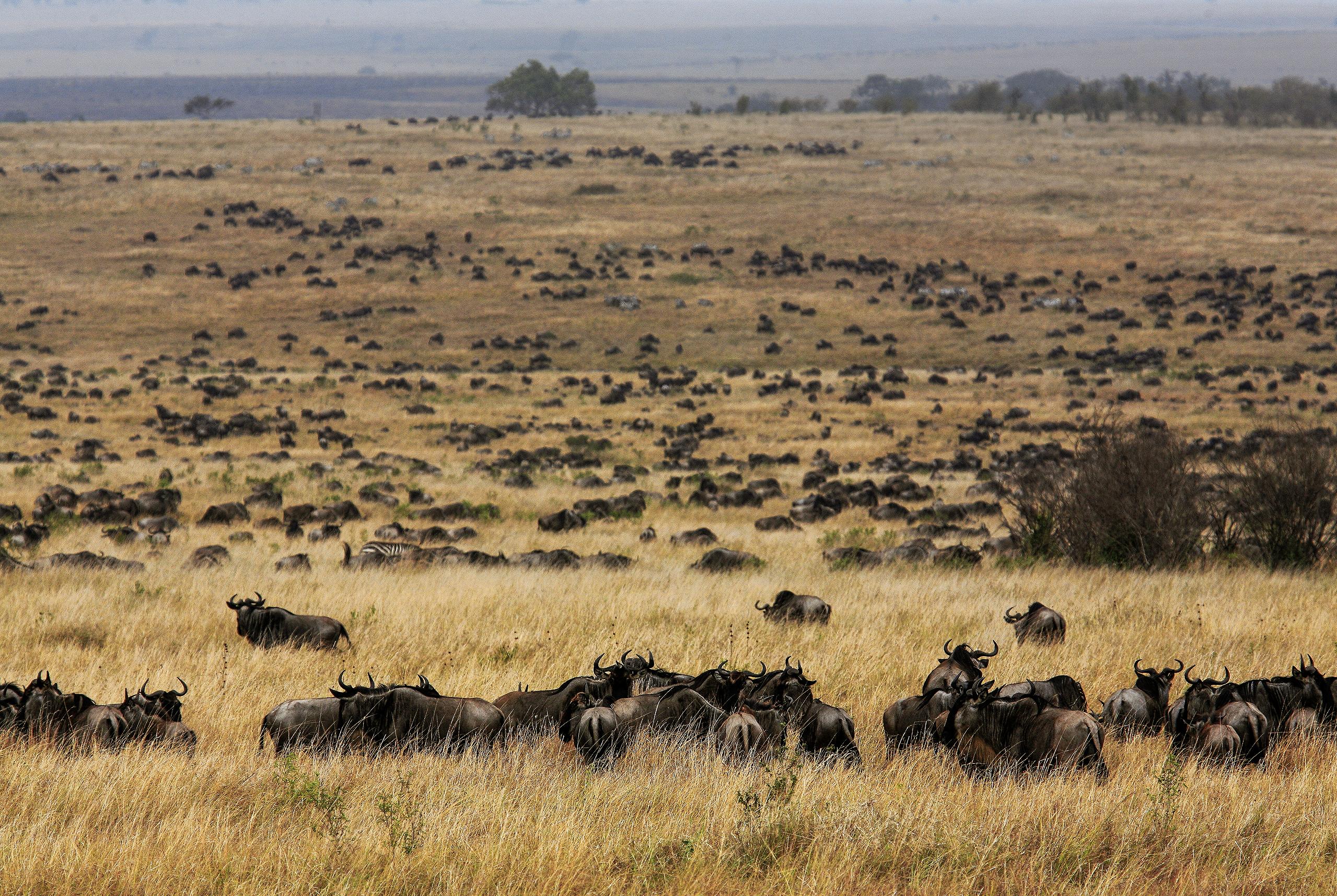 roaring_rain_lions_masai_mara_photo_by_flavio_oliva_26